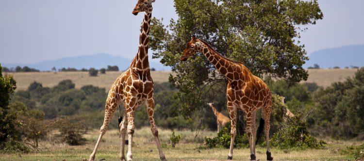 giraffe-163036