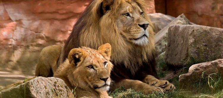 lion-825704