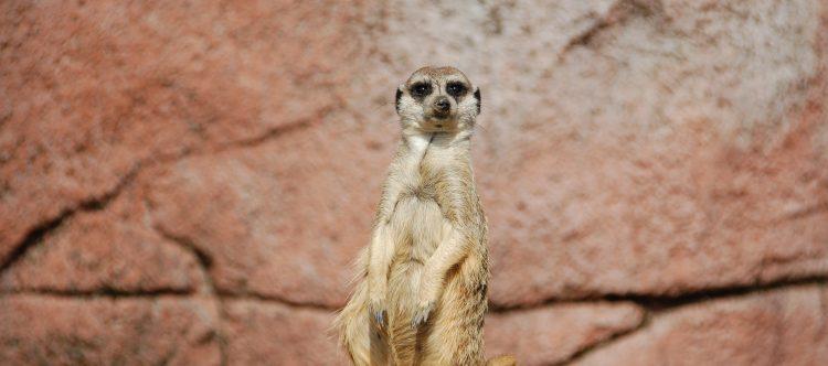 meerkat-162217