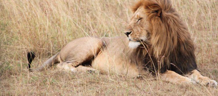 lion-1021446