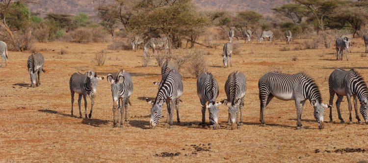 zebra-2668655