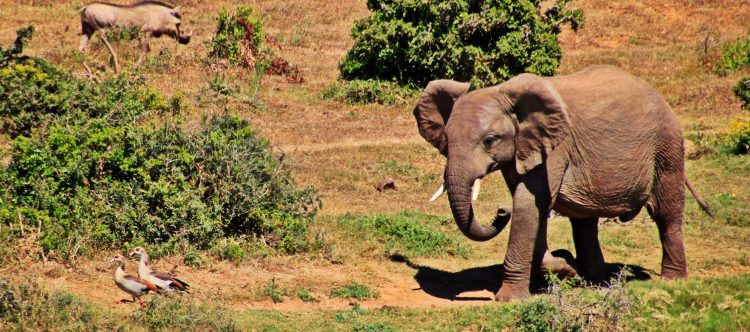 elephant-1228733